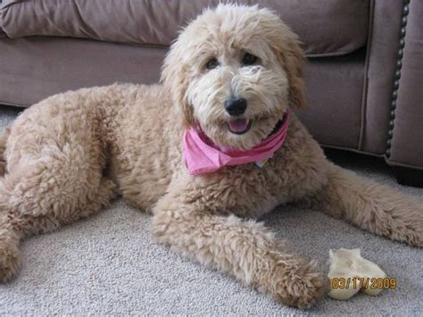 Goldendoodle Hair Types by 17 Best Images About Labradoodles On