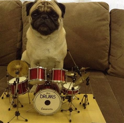 pugs and drummers 17 best images about pugs on a pug pug and pug