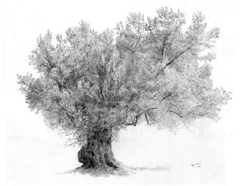 Y Tree Drawing by Olive Tree Drawing Olive Drawings