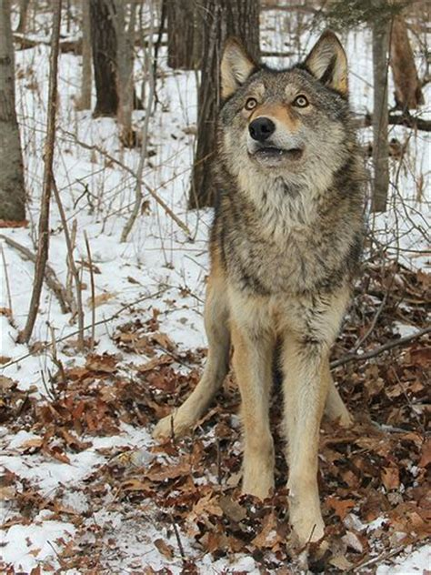 Sle Petition With Signatures Best 20 Wolf Name Ideas On