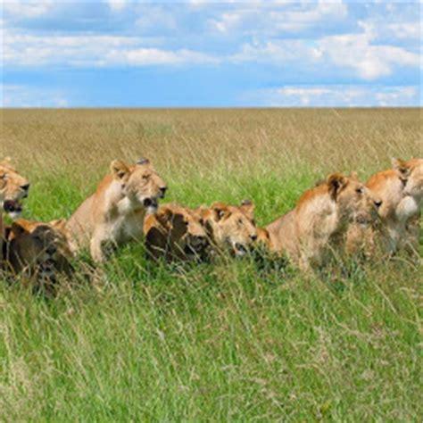 tutorial gambar singa foto foto singa macan harimau cheetah di alam liar