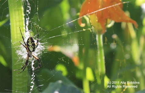 Golden Garden Spider Bite Yellow Garden Spider Bite