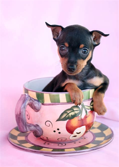 min pin puppy tiny miniature pinscher puppies at teacups puppies teacups puppies boutique