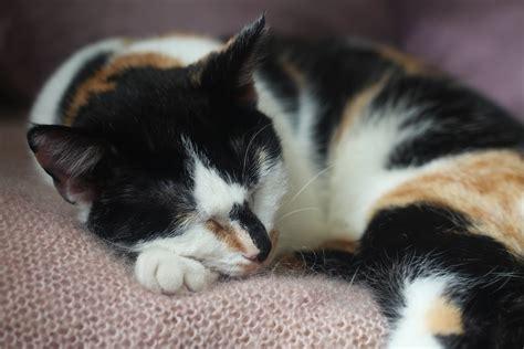 katze hat immer weichen stuhl sind dreifarbige katzen immer weiblich haushaltstipps net