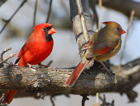state bird of north carolina northern cardinal pair our state bird in north carolina