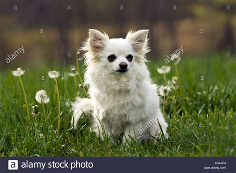 free chihuahua puppies in indiana alert haired chihuahua sitting in meadow in floyd county stock photo royalty