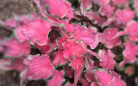 new caladium varieties miss smarty plants
