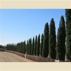 Foliage Plants For Full Sun - cupressus sempervirens glauca trees plant type boething treeland farms