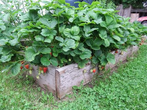 How To Plant Strawberries In A Strawberry Planter by How To Grow Strawberries How To Grow Foods