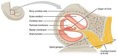 hair sensory hairs definition of sensory hairs by the the organ of corti organum spirale is the sensory