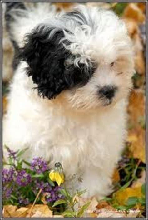 shih tzu and miniature poodle mix shih tzu miniature poodle mix s