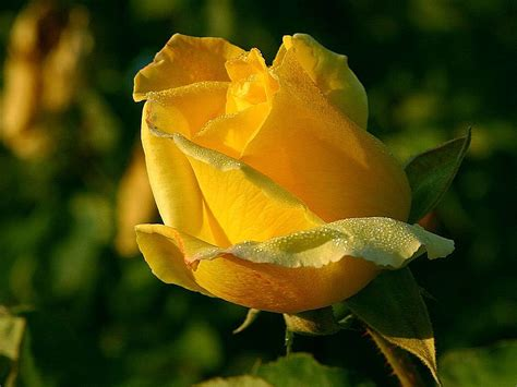 file yellow rose macro close up jpg wikimedia commons