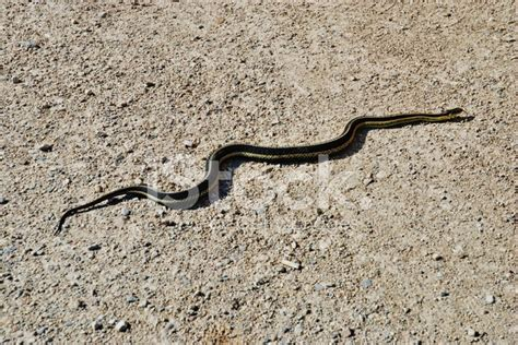 Gardener Snake by Gardener Snake Stock Photos Freeimages