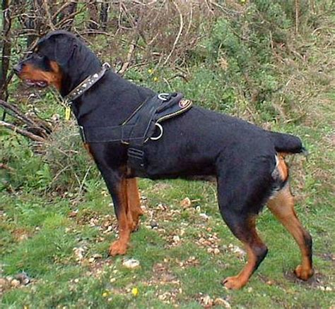 all about rottweilers the world s catalog of ideas