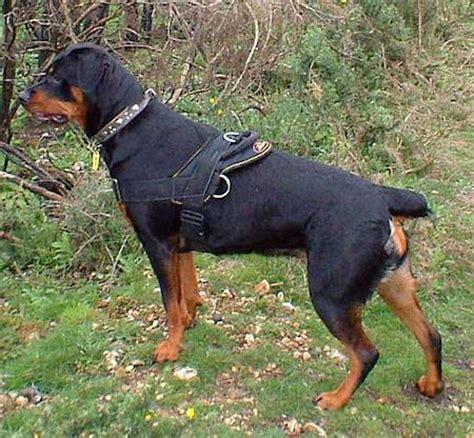 best shoo for rottweiler best rottweiler adjustable harness for everyday rottweiler store