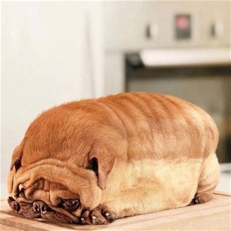 pug loaf of bread 17 best images about huh on cars laughing and texts