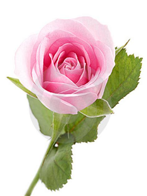 imagenes de rosas por cumpleaños imagen 6336836 rosa rosa autor molka