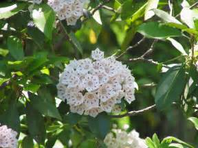 mountain laurel information how to grow a mountain laurel shrub