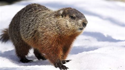 groundhog day 2015 when is groundhog day 2015 heavy