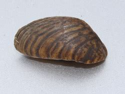 how to remove zebra mussels from a boat zebra mussel invasive species list fisheries research