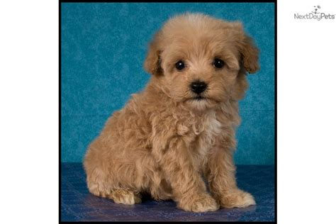 cinnamon maltipoo puppies for sale teacup maltipoo www imgkid the image kid has it