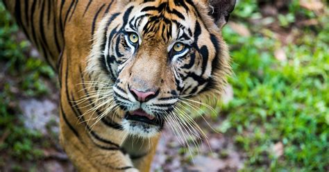 Spesial Kaos Print Premium Umakuka Tiger tiger dies suddenly at mississippi zoo