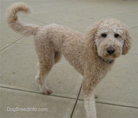 golden retriever vs standard poodle goldendoodle breed pictures 2