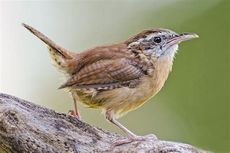 carolina wren backyard birds the bird food store