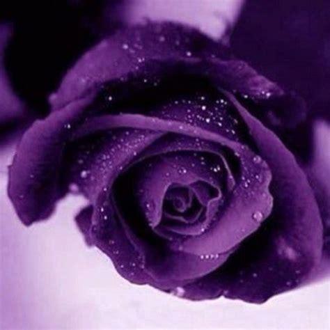names of purple purple roses names purple rose deep purple roses