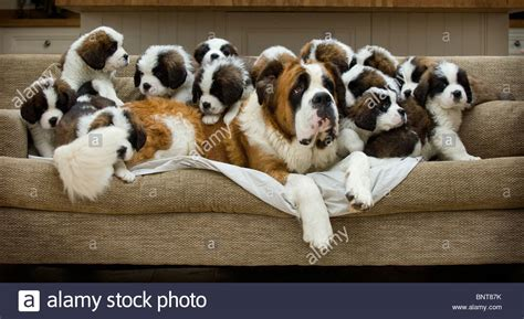 how many puppies in a litter st bernard puppies a record litter of 13 puppies born near stock photo royalty free