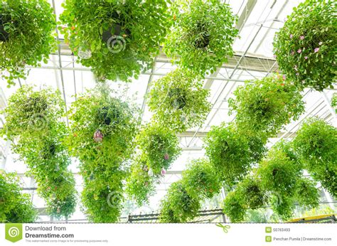hanging flower garden flower in pots hanging on the roof stock photo image
