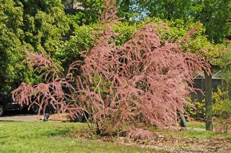 The Best Flowers tamarisk tree in bloom photo hubert steed photos at