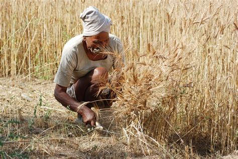 cropping pattern meaning in hindi wheat crop everything you need to know about wheat