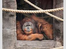 Sumatran orangutan | Oregon Zoo Kutai