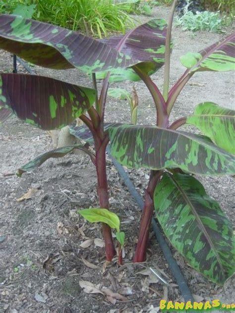 musa sumatrana rojo bananas wiki
