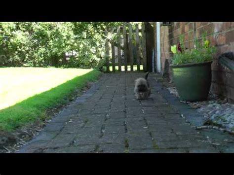 border terrier cross shih tzu adorable border terrier cross shih tzu puppy exploring home