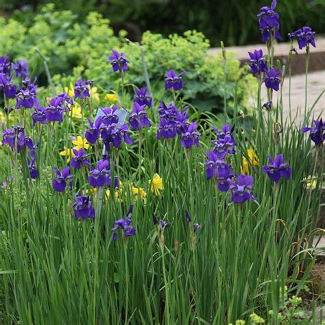 buy siberian iris syn iris sibirica caesars brother