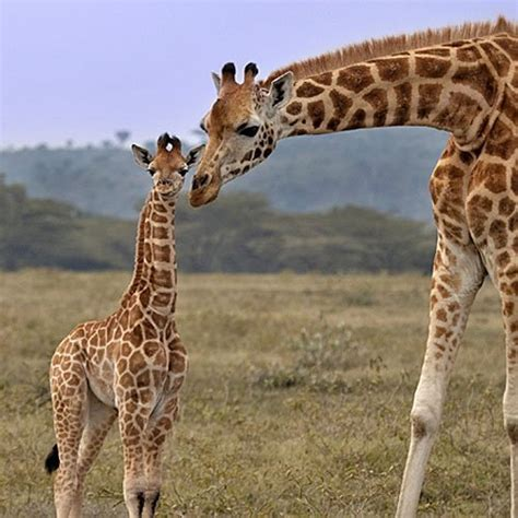 imagenes comicas de jirafas imprimir una jirafa se inclina para atender a su cr 237 a