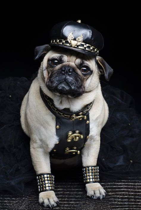 fancy dress pugs pugs in fancy dress sherdog forums ufc mma boxing discussion