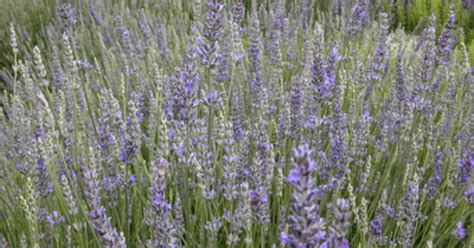 how to prune or trim lavender plants ehow uk