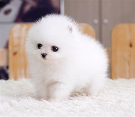white micro pomeranian for sale uk the 25 best ideas about pomeranian for sale on