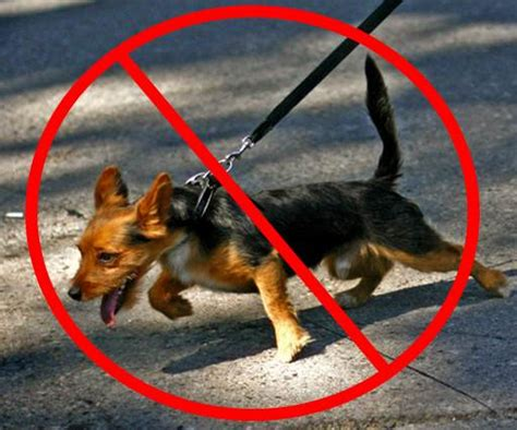 how to your not to pull on leash human leash pulling the pooch coach