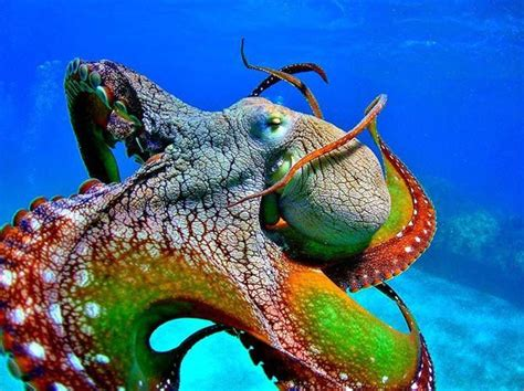what color are octopus by tim rollo octopus swimming from one coral to