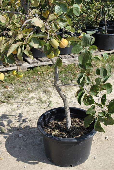 container gardening fruit trees growing fruit trees in containers part 2 stark bro s