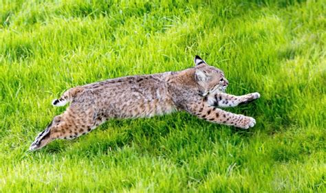 bobcat released back into the wild by lindsay wildlife