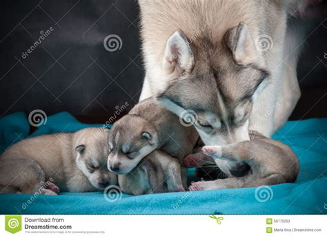 taking care of newborn puppies husky with newborn puppies stock photo image 56775203