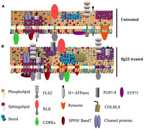 membrane microdomains lipid rafts cell membrane