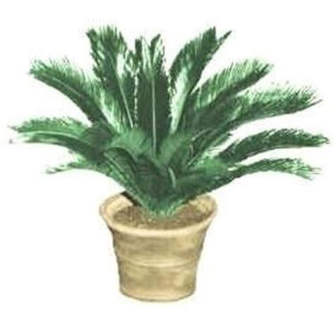 piante palme da giardino palma nana cycas revoluta cycas revoluta piante da