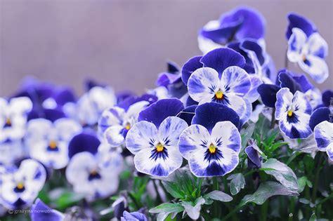 niebiesko biale bratki