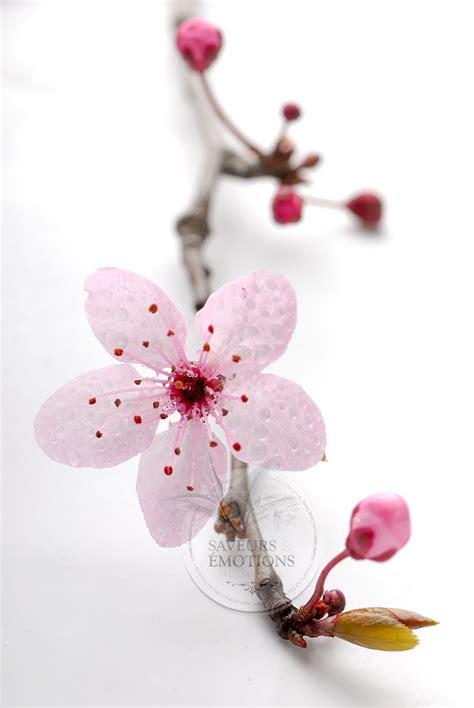 Ver Du Cerisier by Photos Cerisiers Japonais Fleurs Du Japon Et Des Fleurs